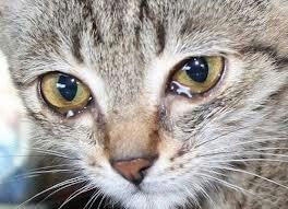 О мелодии рассвета (Плачущий кот)
